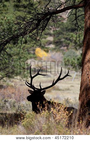 Silhouetted Bull Elk