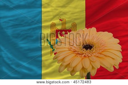 Gerbera Flower In Front  National Flag Of Moldova