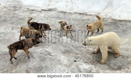 Dogs attacking polar bear
