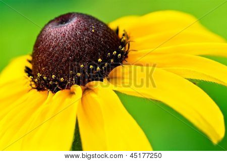 Witness the Black-eyed Susan