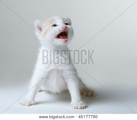 little kitten meowing plaintively on a gray background