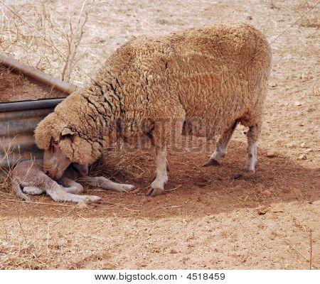 Schaf- und Lammleder