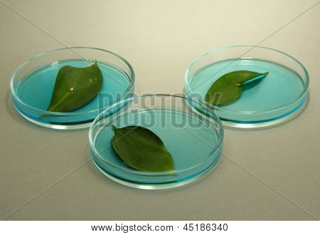 Genetically modified leaves tested in petri dish, on grey background