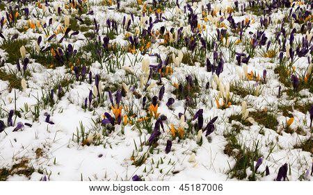 Crocus In The Melting Snow