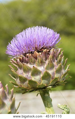 Purple Giant Ornamental Scottish thistle