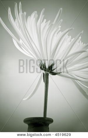 Black And White Dahlia