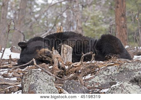 Black Bear Sleeping