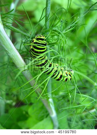 cater pillar of the butterfly machaon on the fennel