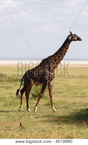 Giraffe - African Mammal