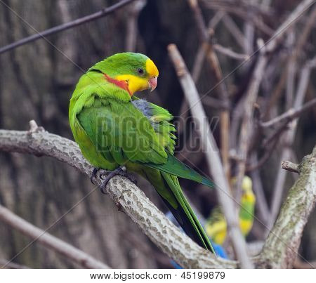 An Adult Male Of Superb Parrot.