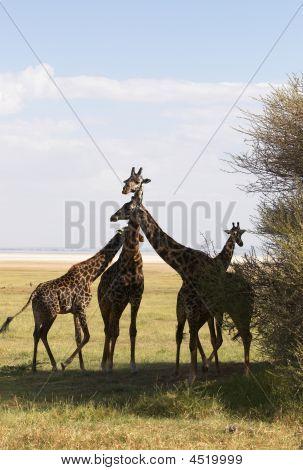 Family Of Giraffe