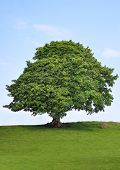 image of maple tree  - Sycamore tree in leaf in a field in summer with a blue sky and clouds to the rear - JPG