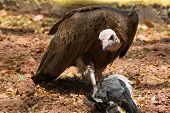 picture of plantain  - A hooded Vulture feeding on a dead Plantain Eater - JPG