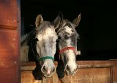 stock photo of lipizzaner  - two young lipizzaner horses - JPG