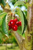 pic of bing  - Bing Cherries ready to be picked at Brozio Orchards in Winston Oregon just south of Roseburg - JPG