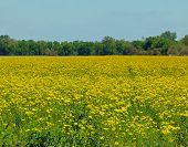 pic of hay fever  - Field of 1000 Sneezes is made up of Golden - JPG