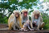 foto of nurture  - monkey family two babies with parents at Sigiriya Sri Lanka