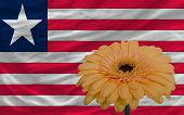 Gerbera Flower In Front  National Flag Of Liberia
