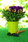 Beautiful pansies flowers on grass on bright background