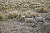 stock photo of the lost sheep  - 2 sheeps wandering on the top of the Port Hill - JPG
