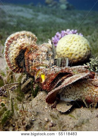 Devil scorpionfish couple