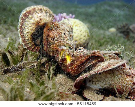 Devil scorpionfish fight