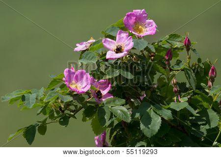 Dog Rose Flower