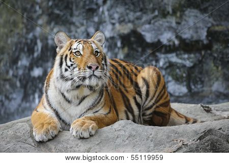 Big Tiger In The Zoo