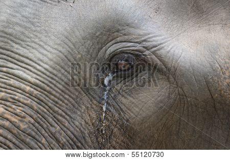 Closeup Of Elephant Eye