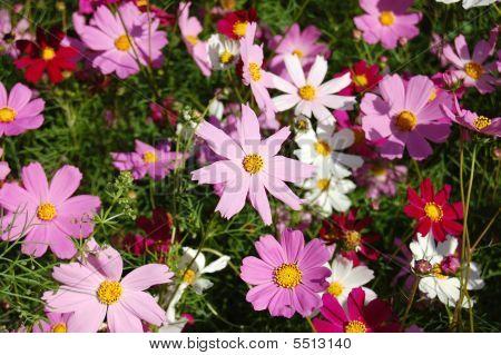 Multicoloured Garden Camomiles - Beautiful Background