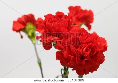 Red Carnation On A Light Background