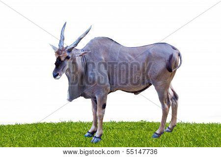 Eland Antelope Standing