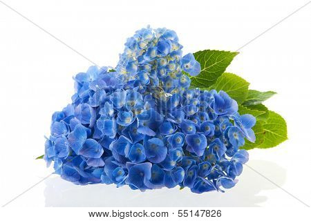 blue hydrangea flowers isolated over white background