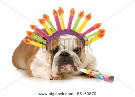 birthday dog - english bulldog wearing birthday hat blowing on horn isolated on white background