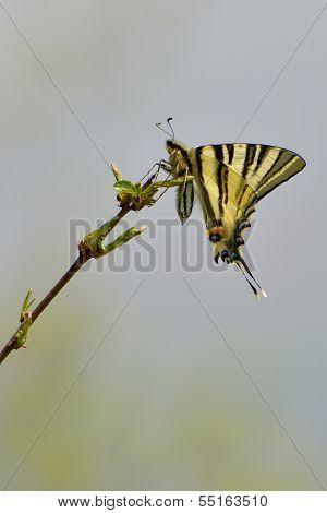 Butterfly - Scarce Swallowtail