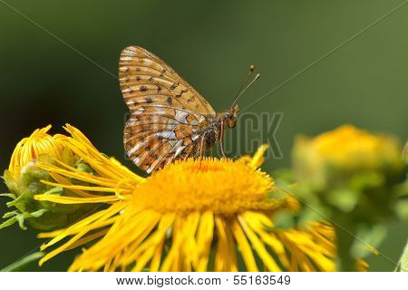 Butterfly (melitaea Aethera)