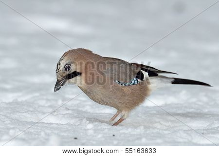 Jay In Winter (garrulus Glandarius)