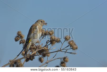 Linnet male. Carduelis cannabina