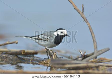 White Wagtail - Motacilla Alba