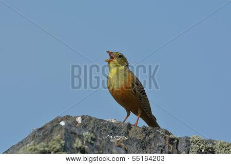 Linnet male (Carduelis cannabina)