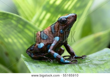 poison dart frog, Dendrobates auratus from the tropical rain forest of Panama. Beautiful tropical and exotic amphibian and poisonous animal. Macro portrait of this small rainforest animal.