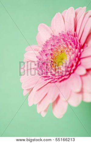 Pink Gerbera On A Green Background
