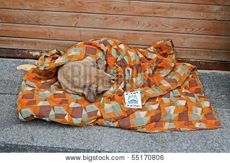 Kiev - Dec 05: Dog Sleeps Under Coverlet On Euro Maidan Meeting In Kiev On December 05, 2013.
