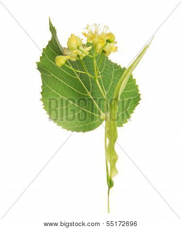 Flower and the leaf of linden tree