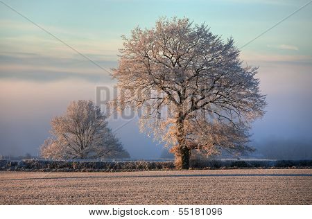 Oak with Hoar Frost, Cotswolds