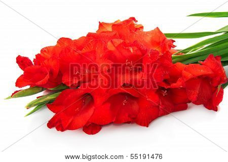 Red gladiolus are isolated on white