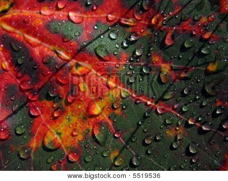 Autumn Asp Leaf After Rain