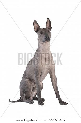Xoloitzcuintle Dog Sitting Against White Background