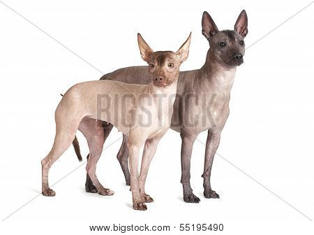 Mexican Xoloitzcuintle Dogs, White Background