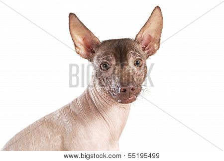 Portrait Of Xoloitzcuintle Dog, White Background